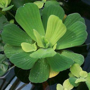 Plantes de laitue–flottant Live et bassin d'eau de plantes d'aquarium Inc de la marque Aquarium Plants Inc image 0 produit
