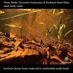 Sun Baked géant Catappa Ketapang Arbre feuilles de la plante X 15 + 5 gratuit ! Sans pesticides . Pour se reproduire en direct crevettes réservoir Aquarium (jaune / cerise / Le cristal rouge / bambou / escargot / abeille / Amano / noir / zèbre / blanc Nez image 4 produit